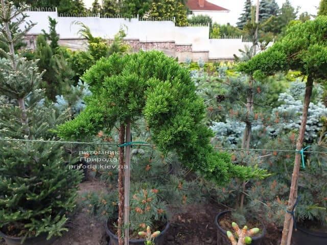 Можжевельник лежачий Нана (Juniperus procumbens Nana) на штамбе ФОТО Питомник растений Природа (5)