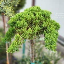 Можжевельник лежачий Нана (Juniperus procumbens Nana) на штамбе ФОТО Питомник растений Природа (6)