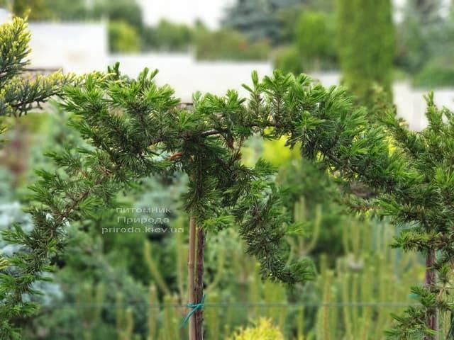 Ялівець прибережний Шлягер (Juniperus conferta Schlager) на штамбі ФОТО Розплідник рослин Природа (1)