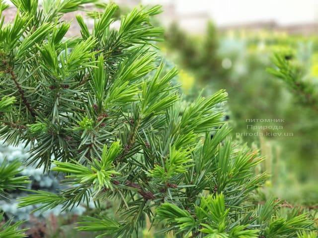 Ялівець прибережний Шлягер (Juniperus conferta Schlager) на штамбі ФОТО Розплідник рослин Природа (4)