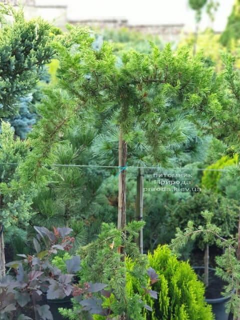 Ялівець прибережний Шлягер (Juniperus conferta Schlager) на штамбі ФОТО Розплідник рослин Природа (5)