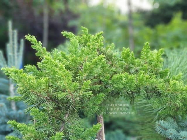 Ялівець прибережний Шлягер (Juniperus conferta Schlager) на штамбі ФОТО Розплідник рослин Природа (6)