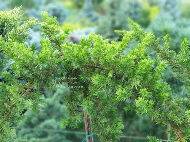 Ялівець прибережний Шлягер (Juniperus conferta Schlager) на штамбі ФОТО Розплідник рослин Природа (7)