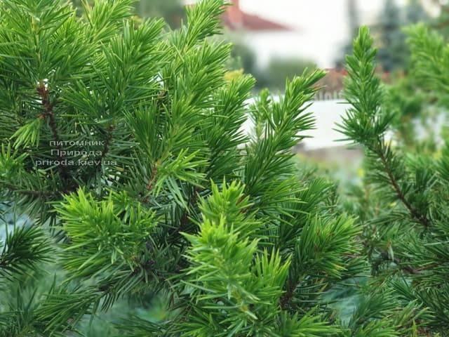 Ялівець прибережний Шлягер (Juniperus conferta Schlager) на штамбі ФОТО Розплідник рослин Природа (8)