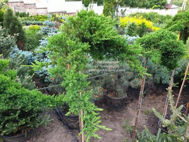 Можжевельник прибрежный Шлягер (Juniperus conferta Schlager) на штамбе ФОТО Питомник растений Природа (9)