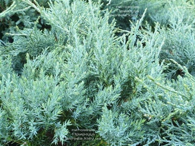 Можжевельник средний Пфитцериана Глаука (Juniperus media Pfitzeriana Glauca) ФОТО Питомник растений Природа (10)