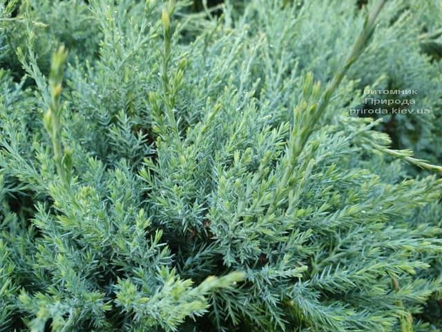Можжевельник средний Пфитцериана Глаука (Juniperus media Pfitzeriana Glauca) ФОТО Питомник растений Природа (6)