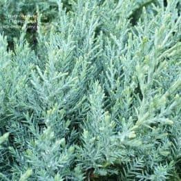 Можжевельник средний Пфитцериана Глаука (Juniperus media Pfitzeriana Glauca) ФОТО Питомник растений Природа (8)