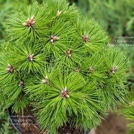 Сосна чёрная Агнес Брегеон (Pinus nigra Agnes Bregeon) ФОТО Питомник растений Природа (2)