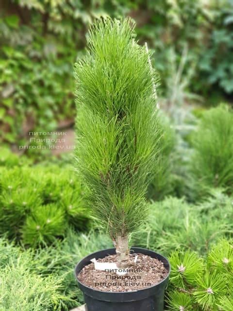 Сосна чёрная Грин Тауэр (Pinus nigra Green Tower) ФОТО Питомник растений Природа (1)