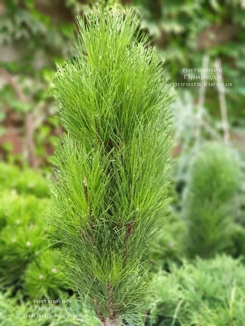 Сосна чёрная Грин Тауэр (Pinus nigra Green Tower) ФОТО Питомник растений Природа (2)