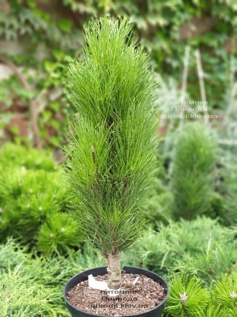 Сосна чёрная Грин Тауэр (Pinus nigra Green Tower) ФОТО Питомник растений Природа (3)
