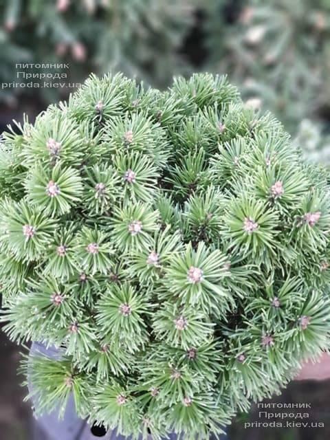 Сосна горная Альгой (Pinus mugo Allgau) ФОТО Питомник растений Природа (2)