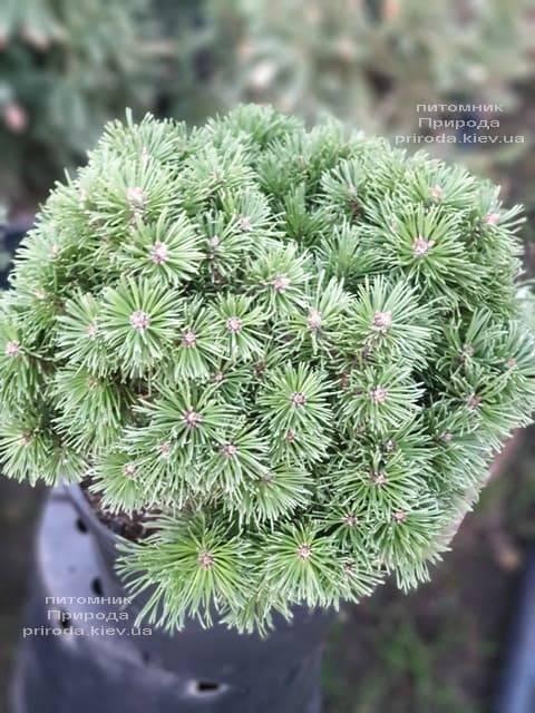 Сосна горная Альгой (Pinus mugo Allgau) ФОТО Питомник растений Природа (3)