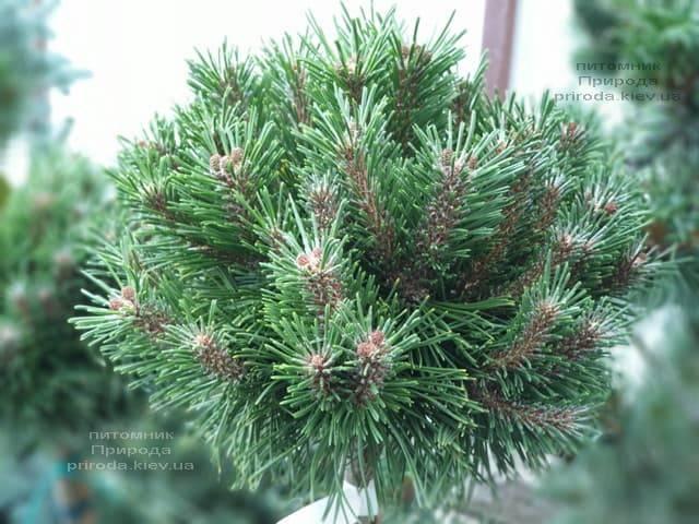 Сосна горная Бенжамин (Pinus mugo Benjamin) ФОТО Питомник растений Природа (1)
