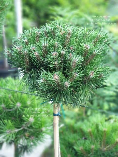 Сосна горная Бенжамин (Pinus mugo Benjamin) ФОТО Питомник растений Природа (2)