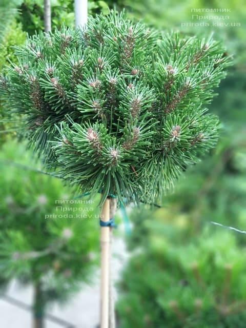 Сосна горная Бенжамин (Pinus mugo Benjamin) ФОТО Питомник растений Природа (3)