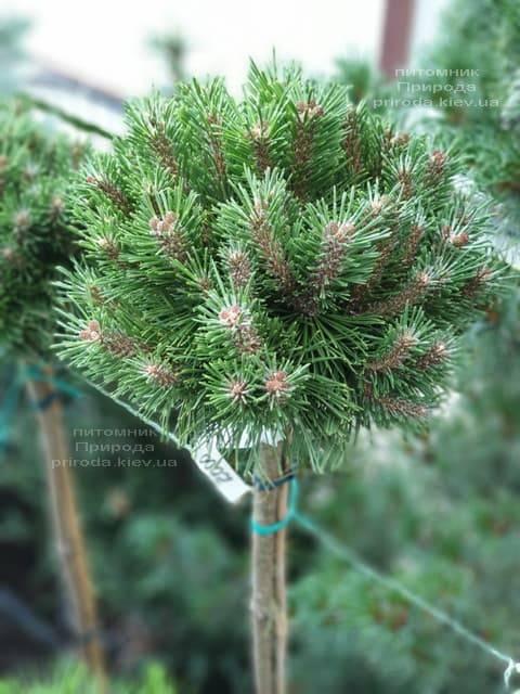 Сосна горная Бенжамин (Pinus mugo Benjamin) ФОТО Питомник растений Природа (4)