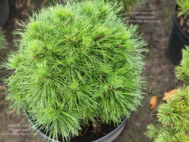 Сосна горная Варелла (Pinus mugo Varella) ФОТО Питомник растений Природа (1)