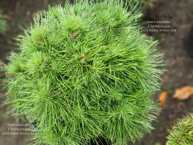 Сосна горная Варелла (Pinus mugo Varella) ФОТО Питомник растений Природа (3)