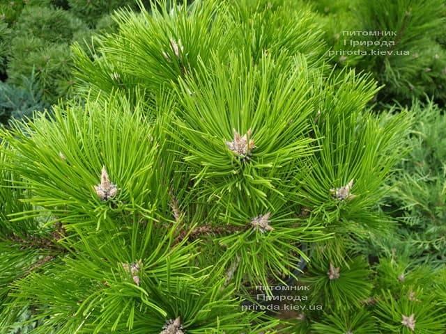 Сосна густоцветковая Лоу Глоу (Pinus densiflora Low Glow) ФОТО Питомник растений Природа (5)