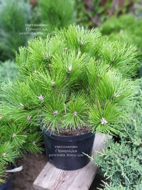 Сосна густоцветковая Лоу Глоу (Pinus densiflora Low Glow) ФОТО Питомник растений Природа (7)