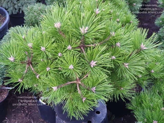 Сосна густоцветковая Вайбрант (Pinus densiflora Vibrant) ФОТО Питомник растений Природа (1)