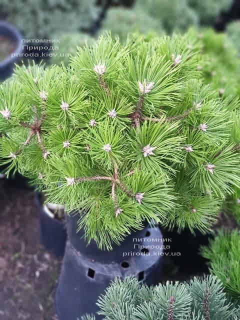 Сосна густоцветковая Вайбрант (Pinus densiflora Vibrant) ФОТО Питомник растений Природа (2)