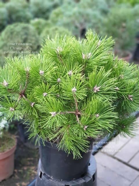 Сосна густоцветковая Вайбрант (Pinus densiflora Vibrant) ФОТО Питомник растений Природа (3)
