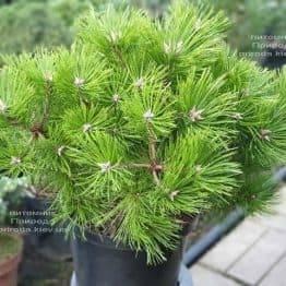 Сосна густоцветковая Вайбрант (Pinus densiflora Vibrant) ФОТО Питомник растений Природа (4)