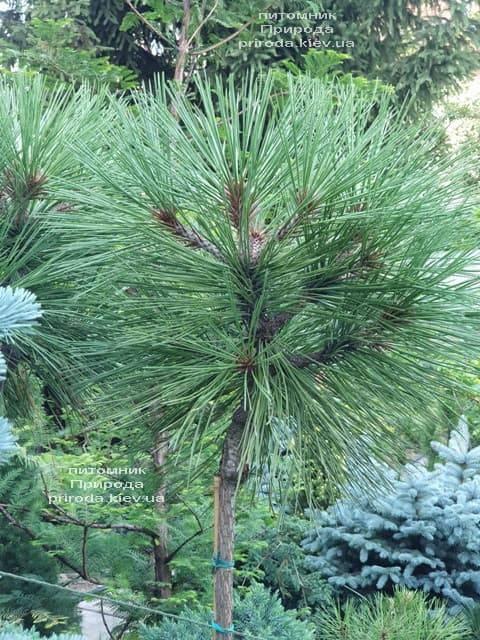 Сосна Жеффрея Йоппи (Pinus jeffreyi Joppi) ФОТО Питомник растений Природа (1)