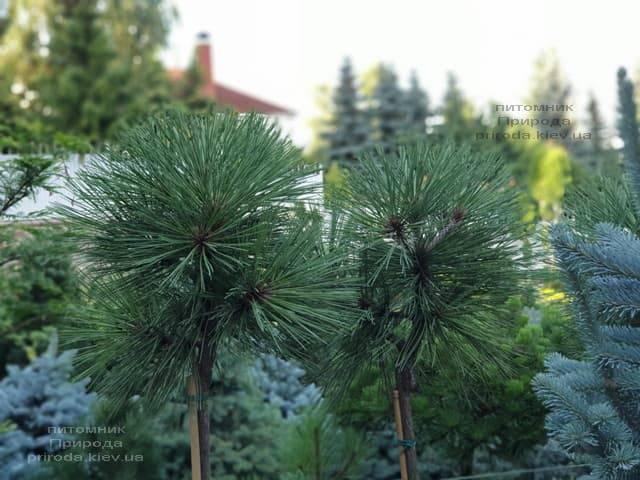 Сосна Жеффрея Йоппи (Pinus jeffreyi Joppi) ФОТО Питомник растений Природа (2)