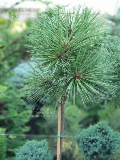 Сосна Жеффрея Йоппи (Pinus jeffreyi Joppi) ФОТО Питомник растений Природа (3)