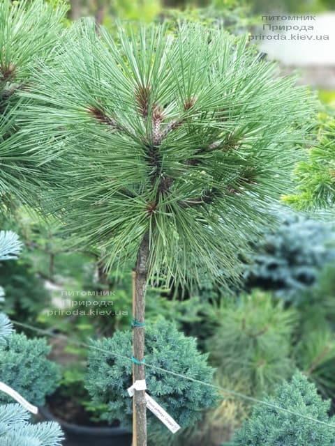 Сосна Жеффрея Йоппи (Pinus jeffreyi Joppi) ФОТО Питомник растений Природа (4)