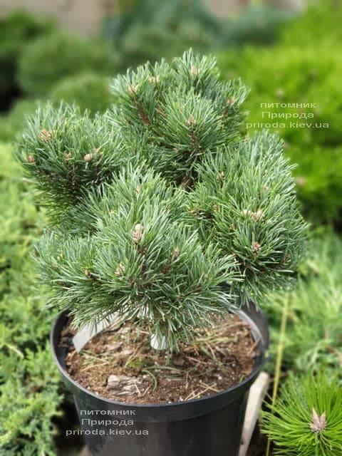 Сосна обыкновенная Френшам (Pinus sylvestris Frensham) ФОТО Питомник растений Природа (2)
