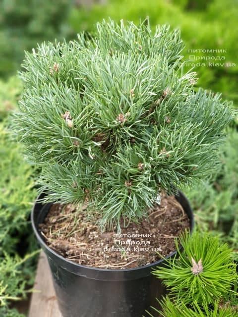 Сосна обыкновенная Френшам (Pinus sylvestris Frensham) ФОТО Питомник растений Природа (3)