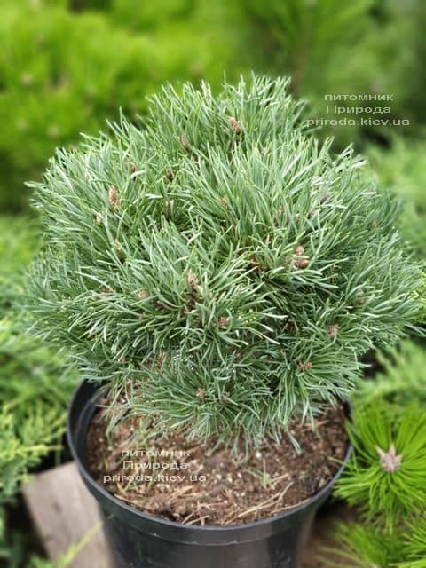 Сосна обыкновенная Френшам (Pinus sylvestris Frensham) ФОТО Питомник растений Природа (4)