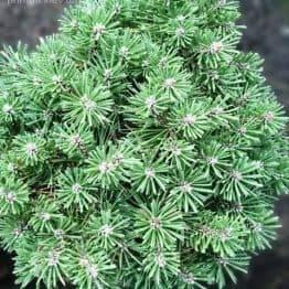 Сосна крючковатая Титус (Pinus uncinata Titus) ФОТО Питомник растений Природа (4)
