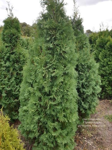 Туя західна колоновидна Колумна (Thuja occidentalis Columna) ФОТО Розплідник рослин Природа (2)