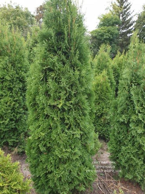 Туя західна колоновидна Колумна (Thuja occidentalis Columna) ФОТО Розплідник рослин Природа (4)