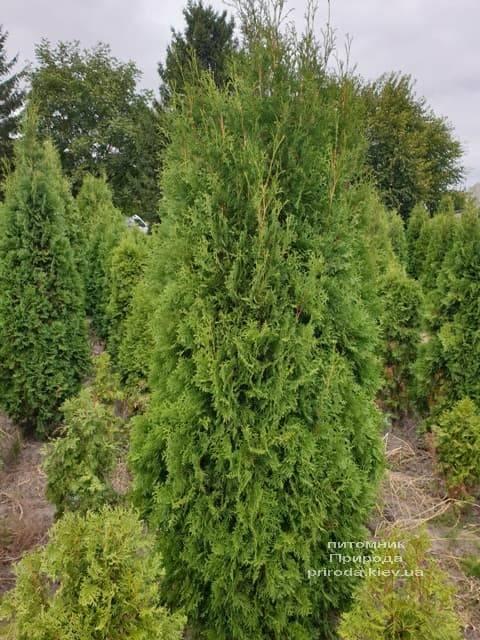 Туя западная колоновидная Колумна (Thuja occidentalis Columna) ФОТО Питомник растений Природа (5)
