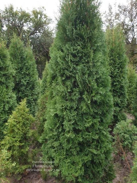 Туя западная колоновидная Колумна (Thuja occidentalis Columna) ФОТО Питомник растений Природа (7)