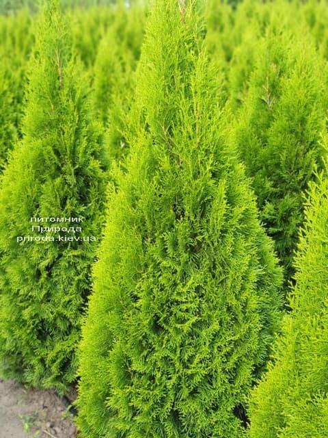 Туя західна Смарагд (Thuja occidentalis Smaragd) ФОТО Розплідник рослин Природа (74)
