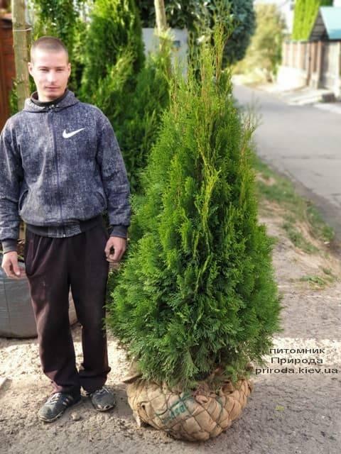 Туя западная Смарагд (Thuja occidentalis Smaragd) ФОТО Питомник растений Природа (76)