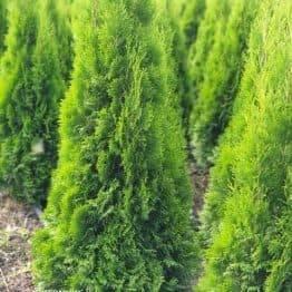 Туя западная Смарагд (Thuja occidentalis Smaragd) ФОТО Питомник растений Природа (77)