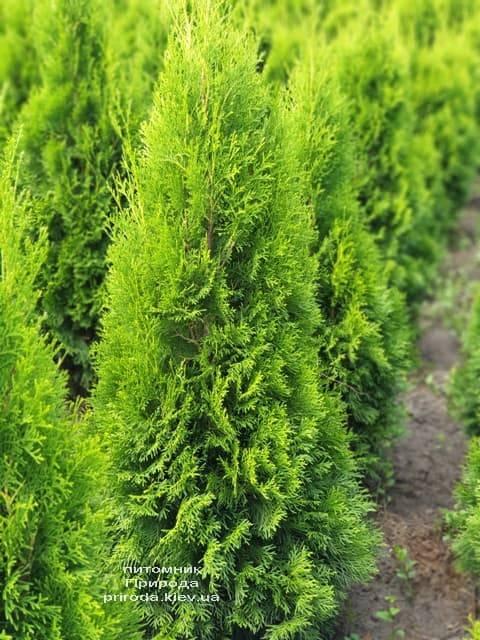 Туя западная Смарагд (Thuja occidentalis Smaragd) ФОТО Питомник растений Природа (78)