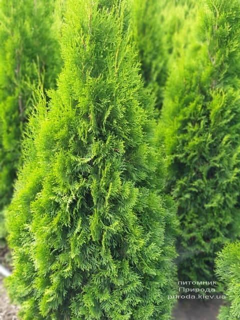 Туя западная Смарагд (Thuja occidentalis Smaragd) ФОТО Питомник растений Природа (79)