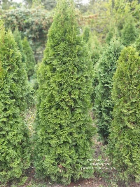 Туя западная Смарагд (Thuja occidentalis Smaragd) ФОТО Питомник растений Природа (80)