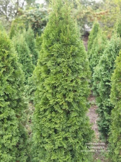 Туя западная Смарагд (Thuja occidentalis Smaragd) ФОТО Питомник растений Природа (81)