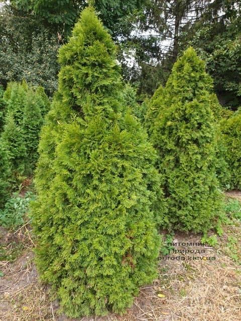 Туя западная Смарагд (Thuja occidentalis Smaragd) ФОТО Питомник растений Природа (82)